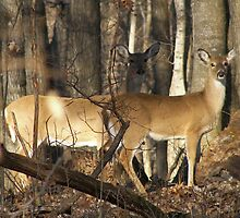 2 Deer in Illinois by Lorrie