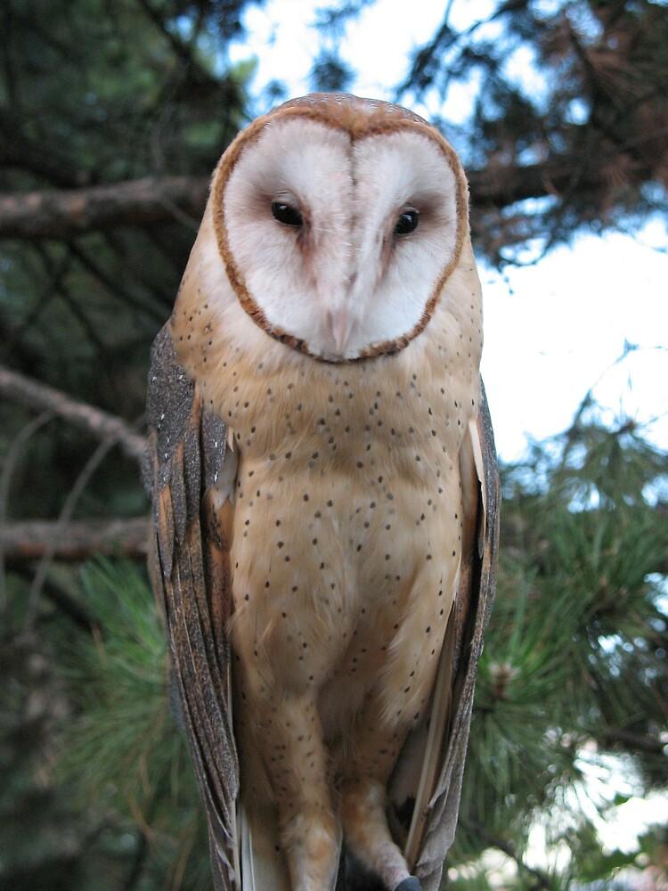 Barn owl by Brynne Kaufmann