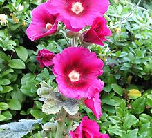 Hollyhocks France by HolidayMurcia