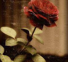 Antique Rose by callalilybeauty