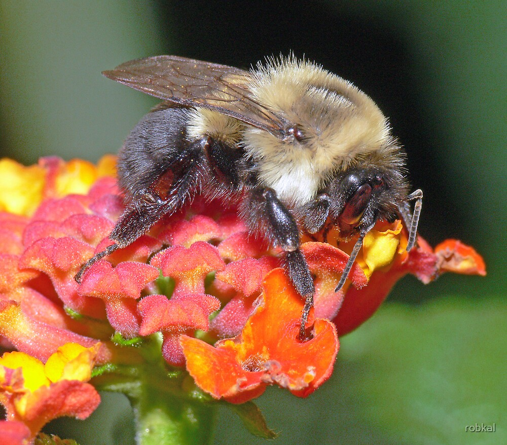 Bumble Bee(3) by robkal