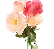 Roses on white by CaroT