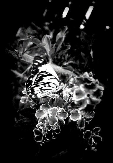 butterfly  3 by kristy  kenning