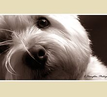The Ever Curious Westie by champtonphotography