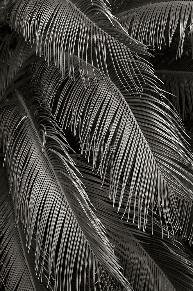 Robellini Palm by Charlie