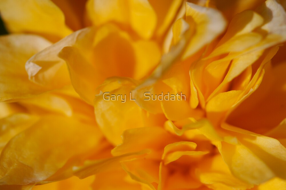 Yellow Rose Of Sharon by Gary L   Suddath