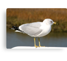 Ring-billed Gull Canvas Print