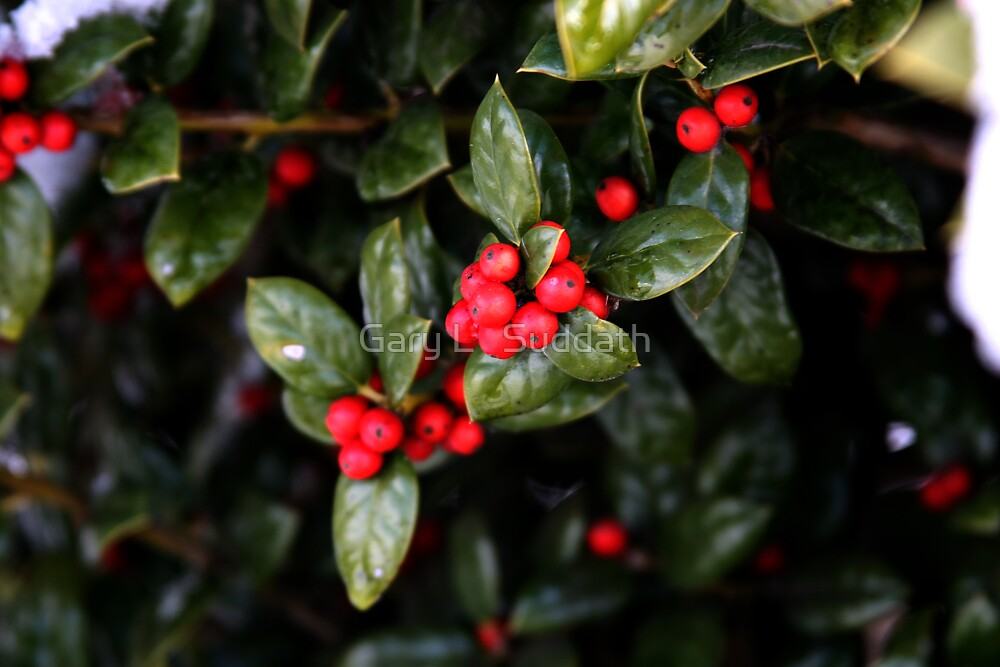 Holly Berries by Gary L   Suddath