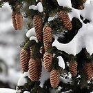 Pine Cones by Chris Monks