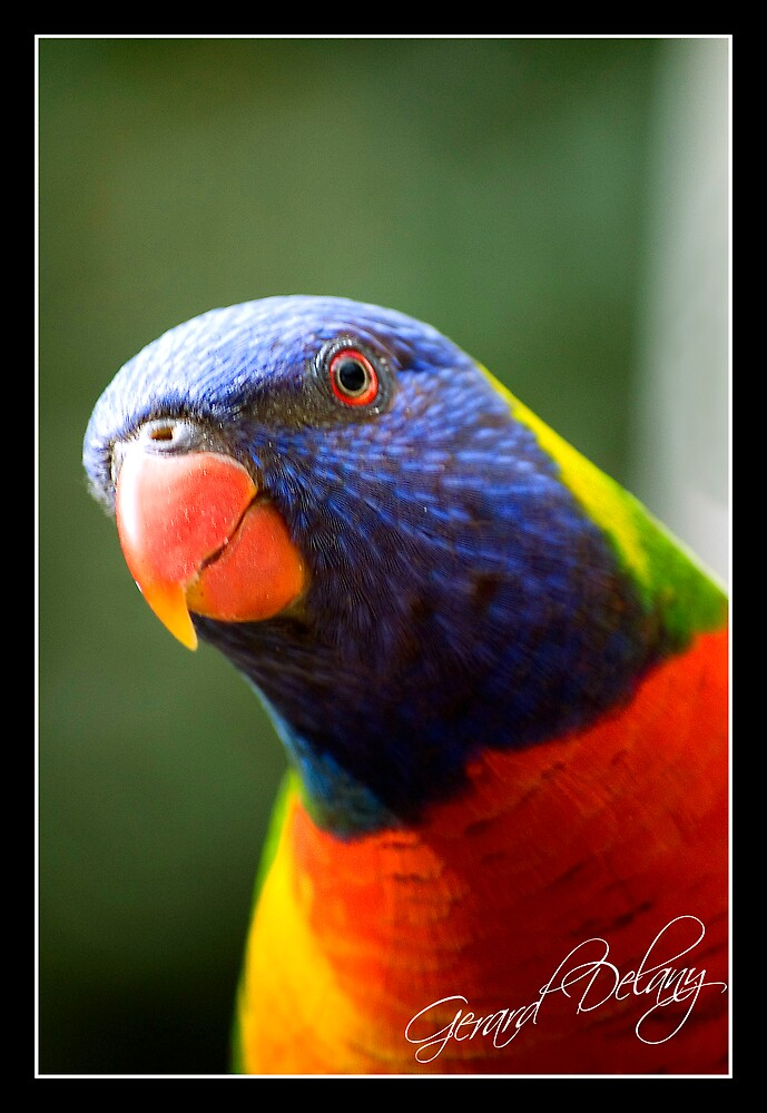 Rainbow Lorikeet by Gerard Delany