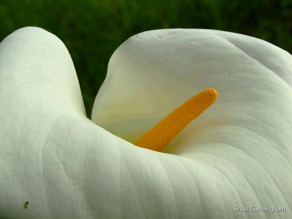 Arum Lilie by Brian Cunningham