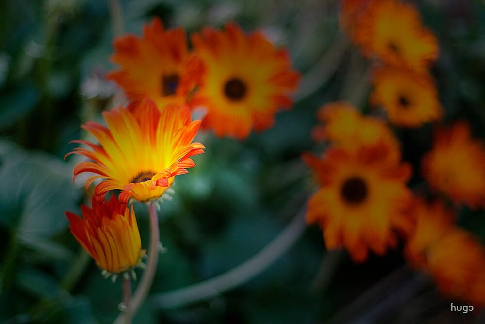 Daisys, Daisys by hugo