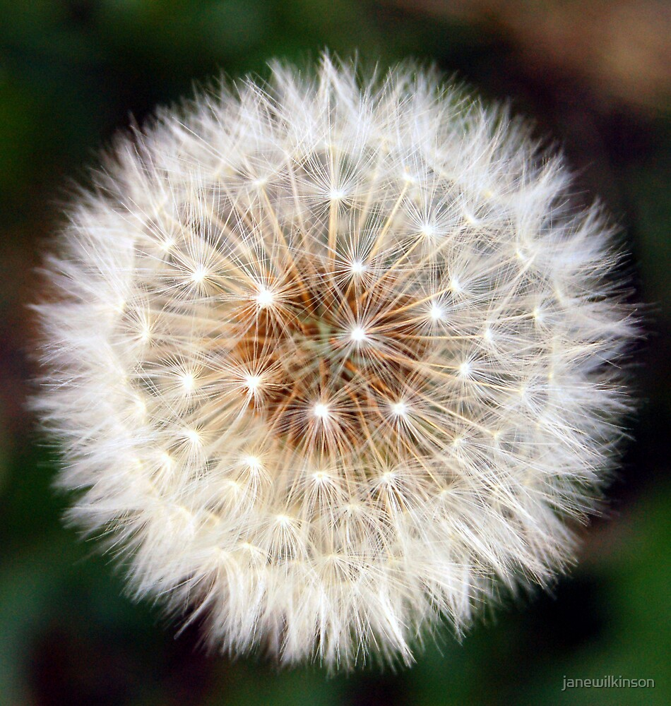 Dandelion by janewilkinson