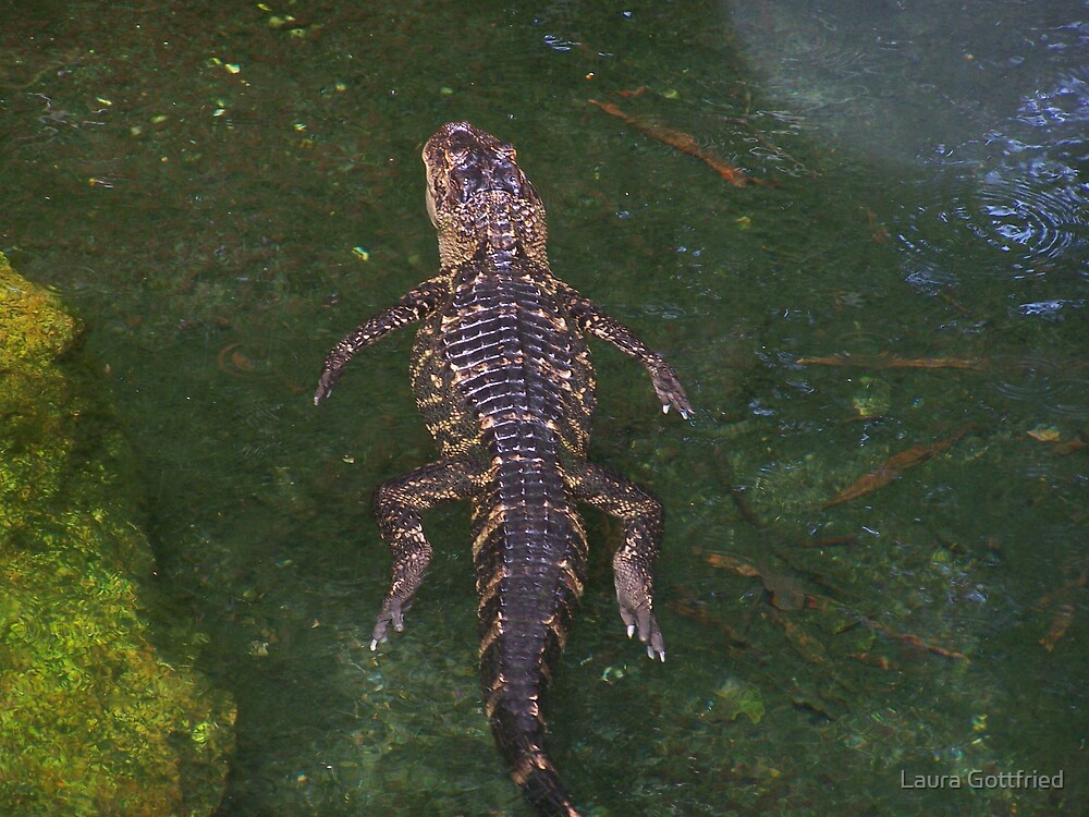 Alligator out for a swim by Laura Gottfried