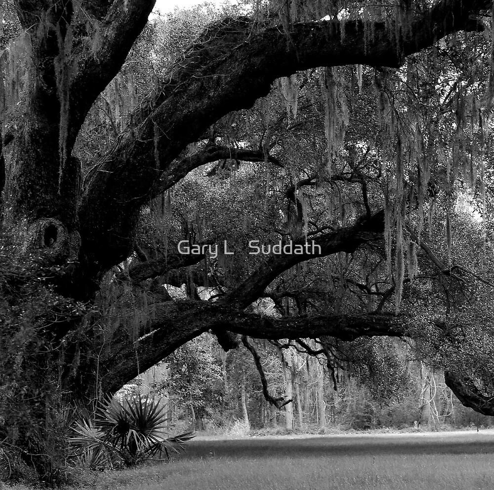 Stately Oaks by Gary L   Suddath