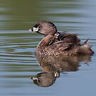 Pied-billed Grebe by Jim Cumming
