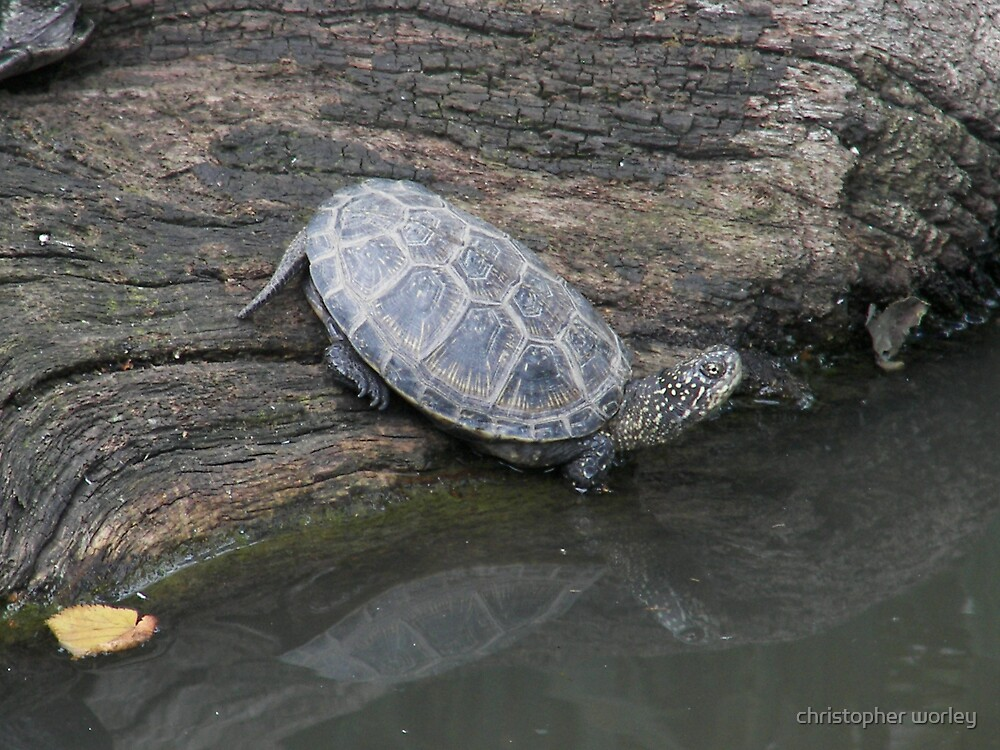 pond turtle by christopher worley