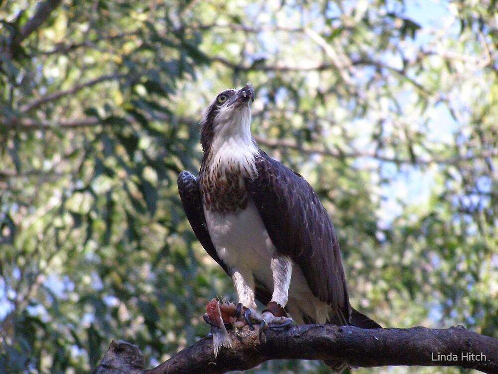 Feeding Eagle by Linda Hitch