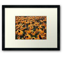 A Field of Black Eyed Susans Framed Print
