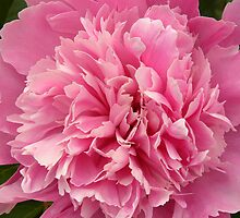 Pink Peony by jenndes