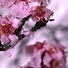 Cherry Rain by kaneko