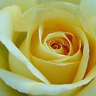 Yellow Rose by jenndes