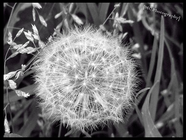 Make a wish... by Melissa  Carroll