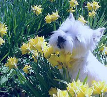 Shuna in the Daffodils by blod