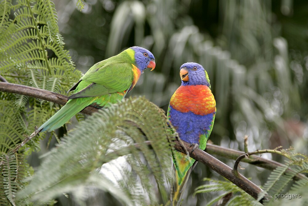 Colourful Birds Blackbutt by prodgers