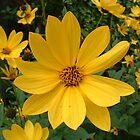 Yellow Daisies by paul boast