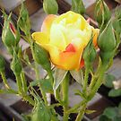 Yellow Rosebuds by Shulie1
