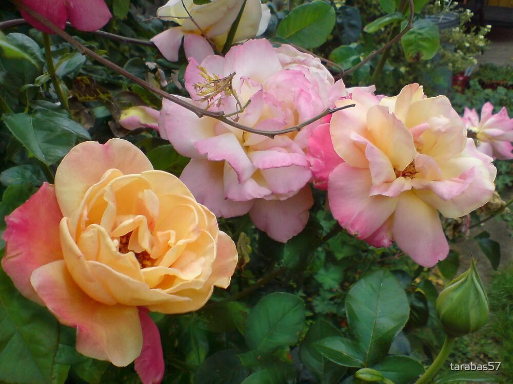 Three roses by tarabas57