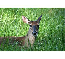 White-Tailed Doe Photographic Print