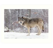 A lone Timber Wolf in the snow Art Print