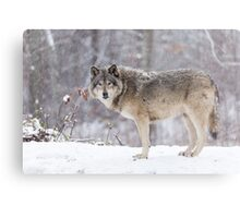 A lone Timber Wolf in the snow Metal Print