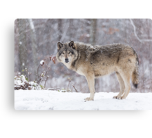 A lone Timber Wolf in the snow Canvas Print