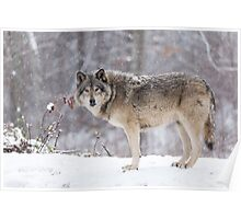 A lone Timber Wolf in the snow Poster