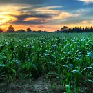Michigan Fields of Corn by Christiaan