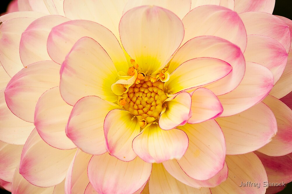 Closeup of Dahlia by Jeffrey  Sinnock