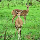 THE REEDBUCK COUPLE – Redunca arundinum by Magaret Meintjes