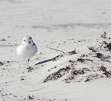 Snowy Plover by Carol Bailey White