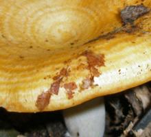 Milky Cap Mushroom - Lactarius deliciosus Sticker