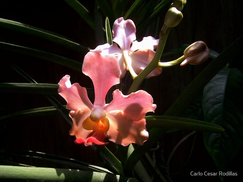 Orchids in Bright Sunlight by Carlo Cesar Rodillas