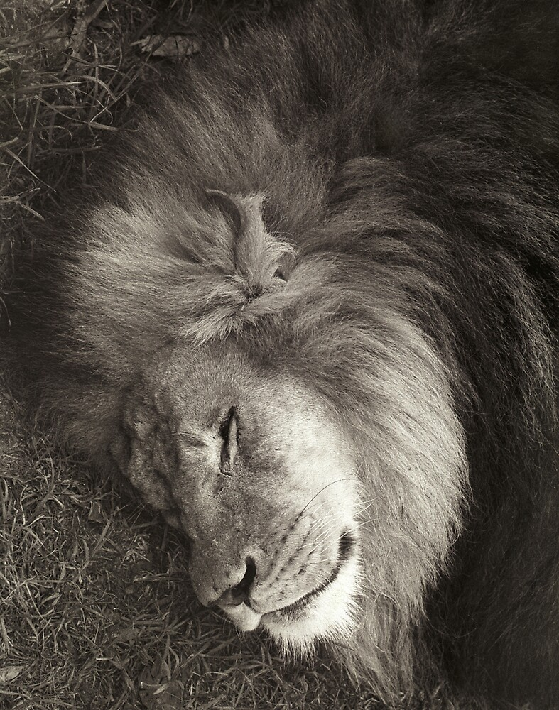 Sleeping Lion by Gavan  Mitchell