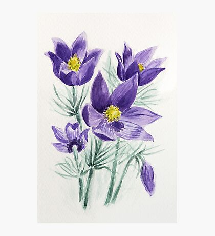 Blooming blue violet pasque flower watercolor painting Photographic Print