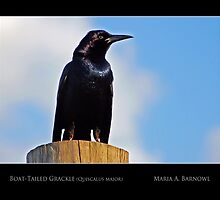 Grackle - Cool Stuff by Maria A. Barnowl