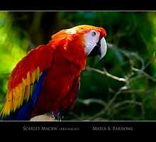 Scarlet Macaw - Cool Stuff by Maria A. Barnowl