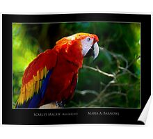 Scarlet Macaw - Cool Stuff Poster