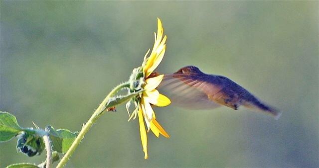 Hummingbird at Sunset by raptrlvr