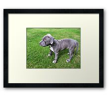 Gorgeous Baby, Blue Pit Bull Puppy Dog With Wrinkles Framed Print